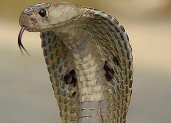 English: Indian Spectacled Cobra, Naja Naja Family, one of India's venomous snakes. (Photo credit: Wikipedia)