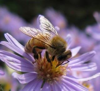 Honey Bee on Aster laevis (Photo credit: Tie Guy II)