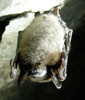 English: Little brown bat with white-nose syndrome in Greeley Mine, Vermont, March 26, 2009. (Photo credit: Wikipedia)