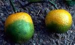 www.hungrypests.com - Citrus Greening