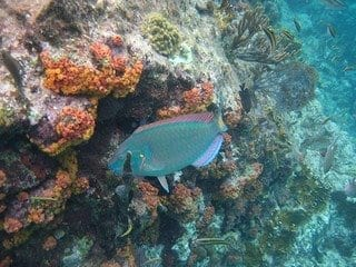 parrot fish (Photo credit: Nadya Peek)