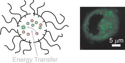 The sequential transport of donors and acceptors across cell membranes with independent and dynamic nanocarriers enables energy transfer exclusively in the intracellular space with concomitant fluorescence activation. Credit: Francisco Raymo, professor of Chemistry and director of the laboratory for molecular photonics, at the University of Miami College of Arts and Sciences