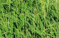 Generating a Genome to Feed the World: UA-Led Team Decodes African Rice