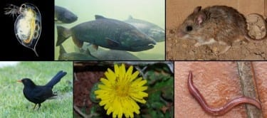 These are examples of documented human-driven evolutionary change in selected species. Upper-left: Reproduction in the Daphnia, a zooplankton which plays a key role in the food webs. Center: Body size of the Pacific salmon. Upper-right: New traits in urban white-footed mice compared with those in rural areas. Lower-left: Migratory behavior of European blackbirds. Center: Dispersal of urban Crepis sancta's seeds. Lower-right: Earthworms' tolerance to metals in the soil. Image: Univ. of Washington