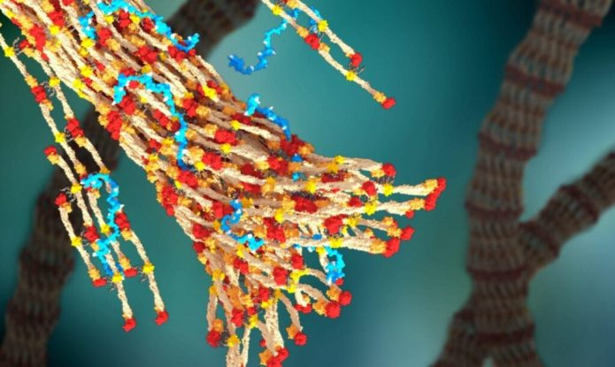 A 3-D rendering of fibrin forming a blood clot, with PolySTAT (in blue) binding strands together.William Walker/University of Washington