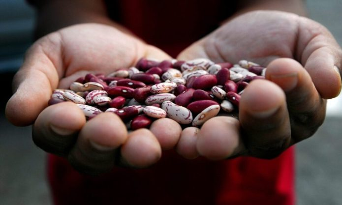 Beans have been a casualty of rising temperatures. But the new variety, developed through natural breeding, is more resilient to heat and drought. Photograph: Neil Palmer/CIAT