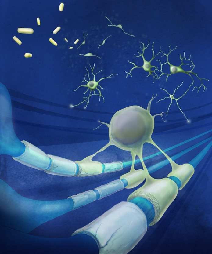 Two FDA approved drugs were found to stimulate stem cells in the brain and spinal cord to regenerate to the protective coating around neurons that is damaged in diseases such as multiple sclerosis. Illustrator: Megan Kern