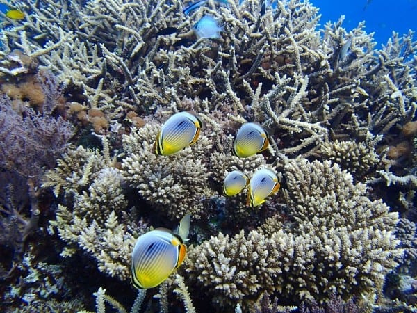 Tim McClanahan/WCS Redfin butterflyfish in their coral reef habitat. Fish are the key ingredients in a new recipe to diagnose and restore degraded coral reef ecosystems, according to scientists from the Australian Institute of Marine Science, the WCS, James Cook University, and other organizations in a new study in the journal Nature.