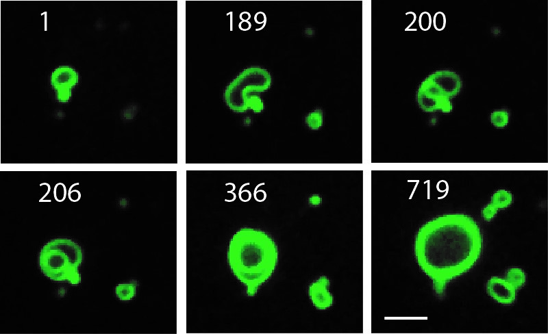 Growing cell membranes are seen in this time lapse sequence (numbers correspond to minutes of duration). Credit: Michael Hardy, UC San Diego