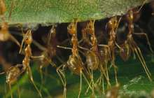 Ants to the rescue: how super-organisms could become super pest controllers