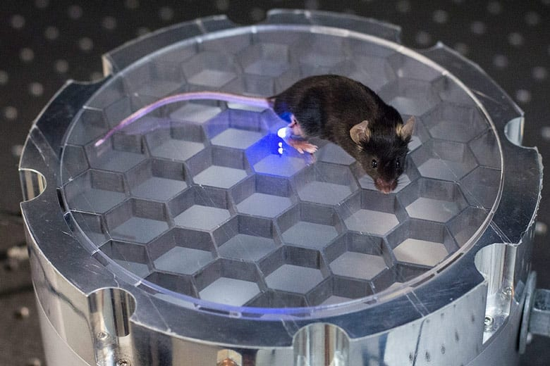 This mouse's own body transmits energy to an implantable device that delivers light to stimulate leg nerves in a Stanford optogenetics project. (Photo: Austin Yee)