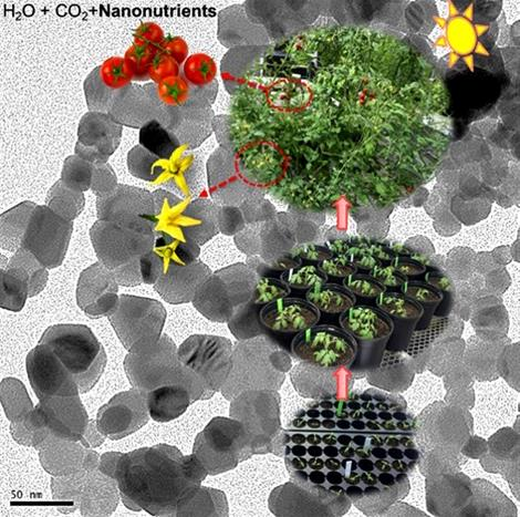 This image from a transmission electron microcope represents the lifecycle of the nanonutrients used in tomato plants, from seed to plant to fruit.