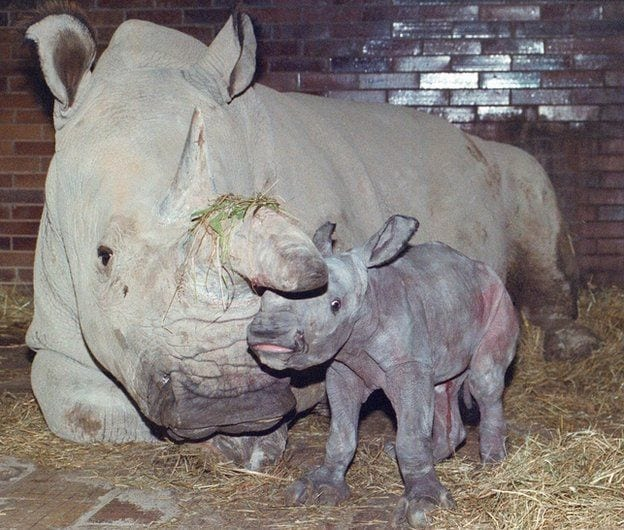 Reproduction and stem cell researchers set up a rescue plan for Northern White Rhino