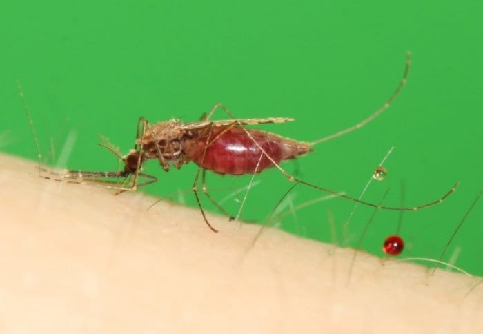 Malarial mosquitoes have been modified to be infertile and pass on the trait rapidly - raising the possibility of reducing the spread of disease.