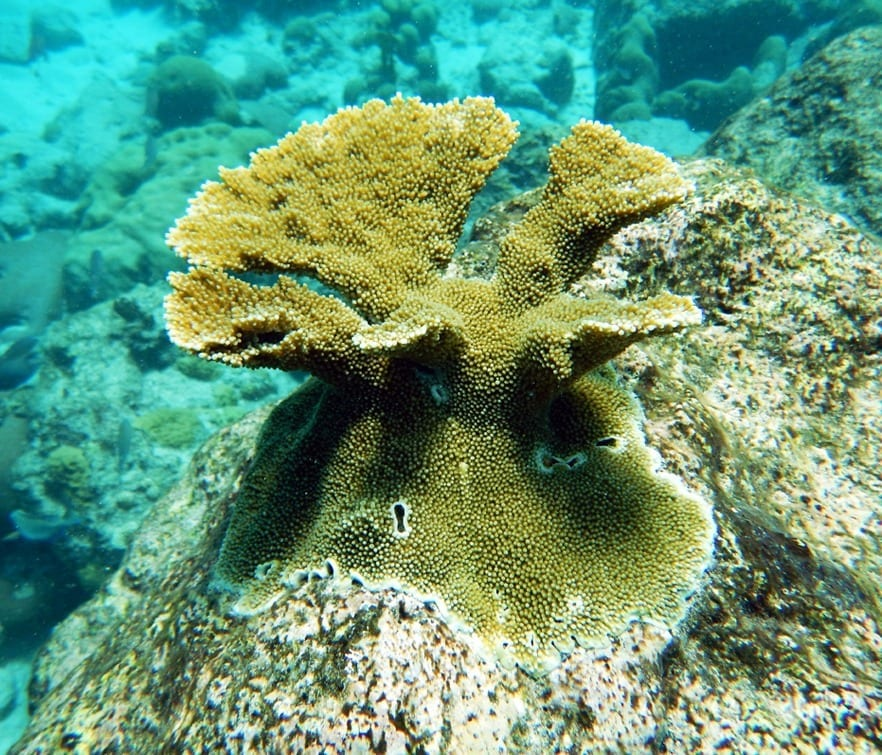 4-year old elkhorn coral outplanted to the reef - via SECORE International
