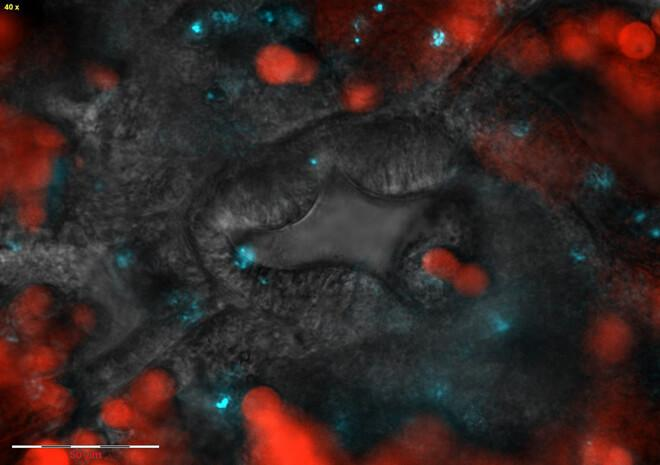 The mouth of a coral polyp (center): Symbiotic algae are labeled in red, pathogenic bacteria that enter through this region are labeled in blue. CREDIT Weizmann Institute of Science