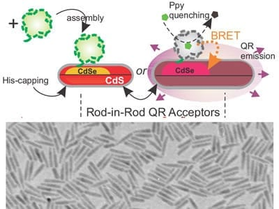A schematic of the nano-biosystem (top) and an electron microscope image of quantum rods