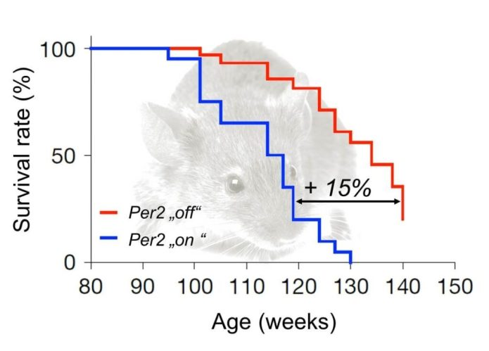 "Deletion of gene ""Per2"" improves the immune system in old mice and prolongates their lifespan by up to 15%. [Source: iStock/FLI/Wang et al. 2016]"