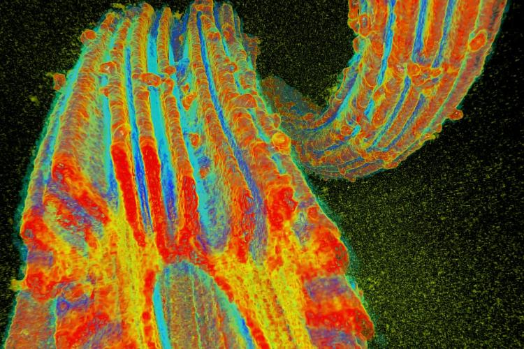 Oak Ridge National Laboratory researchers developed a fiber to adsorb uranium from seawater. Researchers at Pacific Northwest National Laboratory exposed the fibers to Pseudomonas fluorescens and used the Advanced Photon Source at Argonne National Laboratory to create a 3-D X-ray microtomograph to determine that the fiber structure was not damaged by the organism. Image credit: Pacific Northwest National Laboratory, U.S. Dept. of Energy