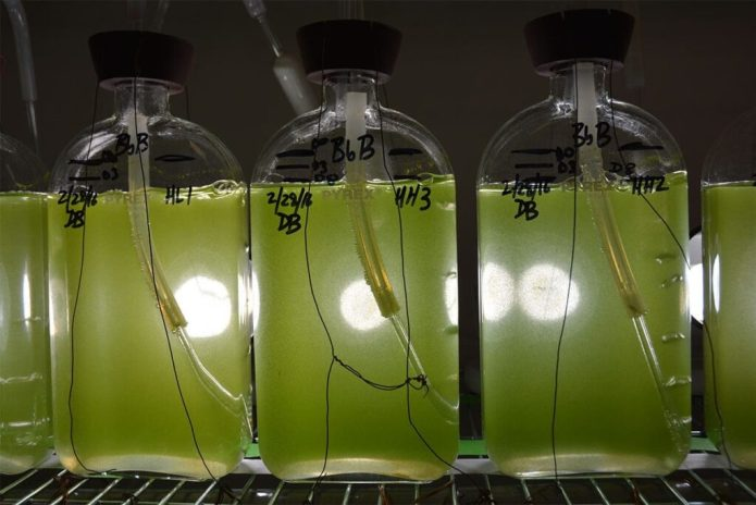 This common green microalga called Botryococcus braunii is found everywhere in the world except in sea water. It has potential to be used as a biofuel. (Texas A&M AgriLife Research photo by Kathleen Phillips)