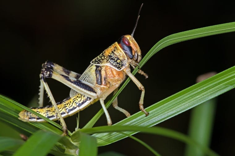 Researchers at Washington University in St. Louis are using a locust's sense of smell to develop new biorobotic sensing devices - via WUSTL