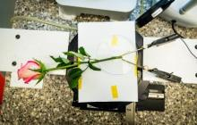 A rose acting as a supercapacitor can be charged and discharged hundreds of times