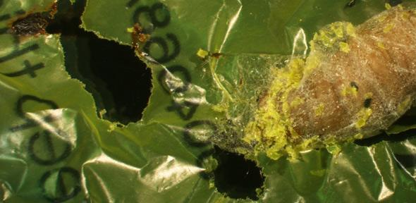 Caterpillar found to eat shopping bags: A biodegradable solution to plastic pollution?