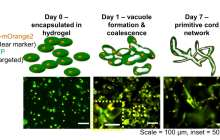 One step closer to 3-D printing transplantable tissues and organs with functioning capiliaries