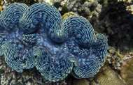 Enhancing the production of biofuel inspired by mimicking giant clams