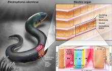 Eel-inspired power cells are flexible and transparent