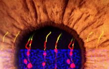 Researchers have reversed congenital blindness in mice