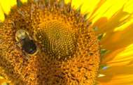 Could sunflower pollen dramatically lower rates of infection in bees by specific pathogens