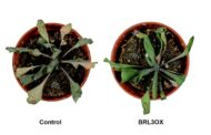 How to generate plants with enhanced drought resistance without penalizing growth