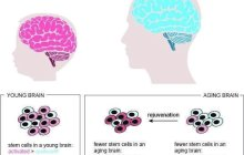 Rejuvenating stem cells in the aging brain of mice improve the regeneration of injured or diseased areas in the brain