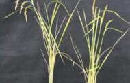 Ensuring genetic diversity of crops with the ability to modify plant mitochondrial DNA