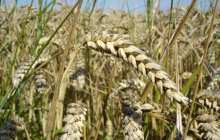 Early detection of a broad range of wheat diseases with a new DNA sequencer method