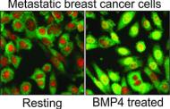 Can activation of a distinct genetic pathway slow the progress of metastatic breast cancer?