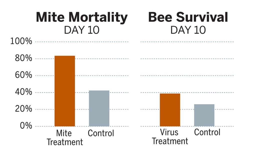 Compared with control bees, the bees treated with the strain of bacteria targeting the deformed wing virus were 36.5% more likely to survive to day 10. Meanwhile, Varroa mites feeding on another set of bees treated with the mite-targeting strain of bacteria were about 70% more likely to die by day 10 than mites feeding on control bees. Credit: University of Texas at Austin.