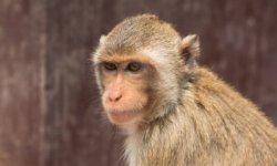 Il tempio delle scimmie di Lopburi in Thailandia.
