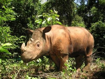 rinoceronte di sumatra