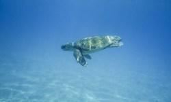 grande tartaruga in Thailandia