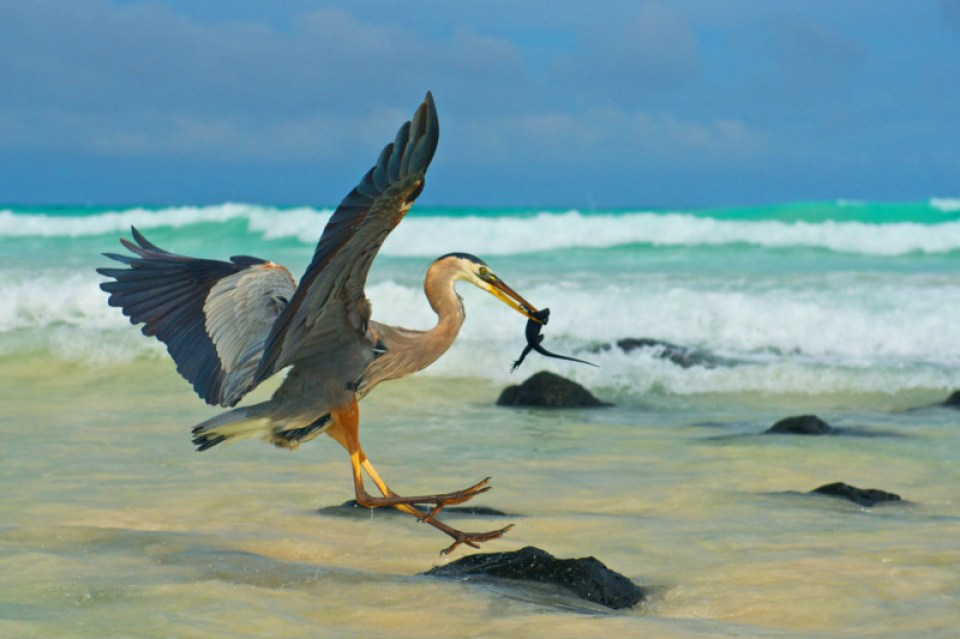 A Grey Heron predating a baby Marine Iguana on Puerto Villamil, Isabela Island               Copyright : Colossus Productions    Credit : Rob Hollingworth