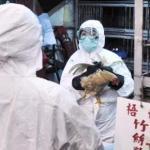 Epidemia di aviaria H7N7: abbattimenti preventivi