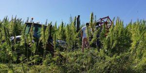coltivazione di canapa