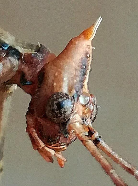 Extatosoma tiaratum tête
