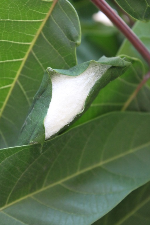 Cocon
