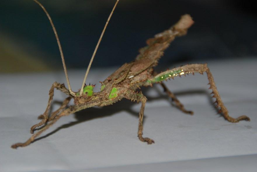 Heteropteryx dilatata gynandromorphe