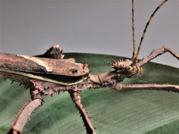Heteropteryx dilatata mâle adulte