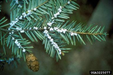 Hemlock branch infected with Hemlock Woolly Adelgid