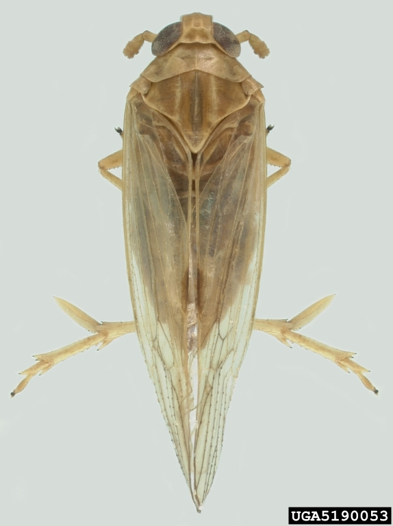 Adult Brown Plant Hopper